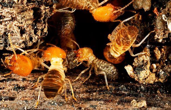 Macrotermus bellicosus фот