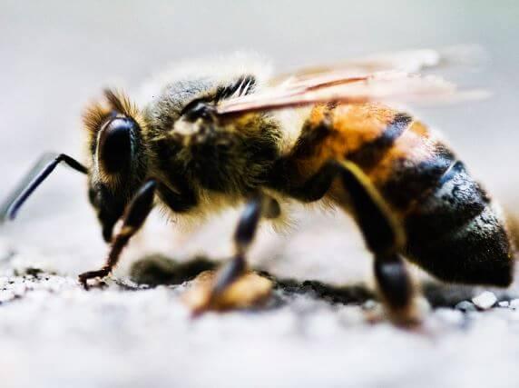 vneshniy vid medonosnaya pchela Медоносная пчела