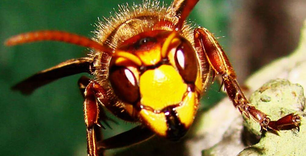 Внешний вид осы обыкновенной