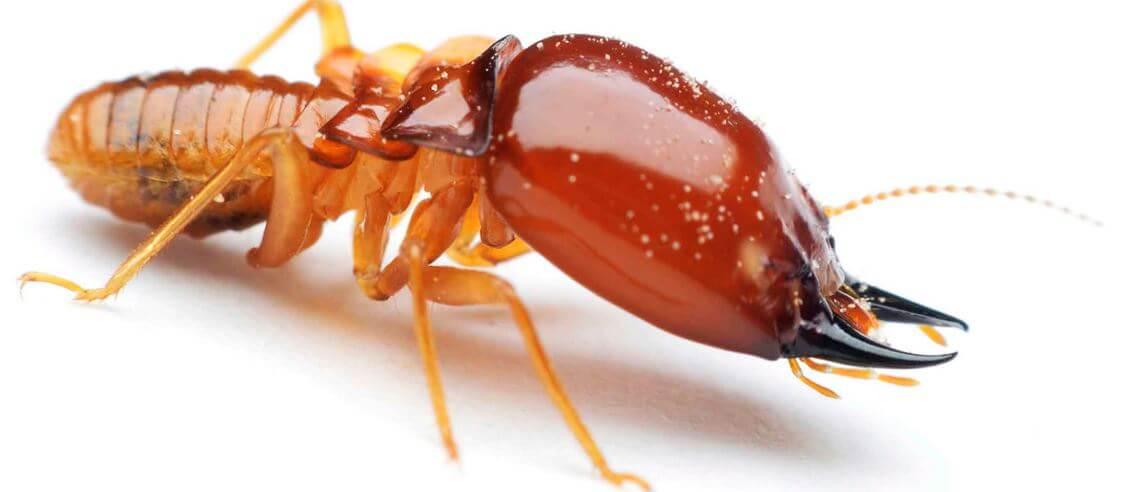 vneshniy vid termita macrotermus bellicosus Термиты Macrotermus bellicosus