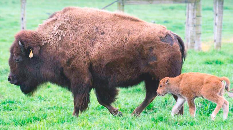 Самка зубра европейского с детёнышем