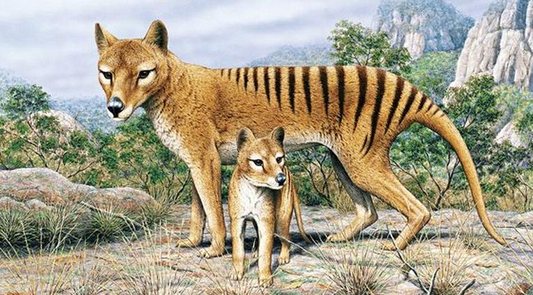 Тасманийский сумчатый волк с детёнышем