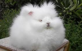 814 Ангорский кролик