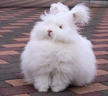 86 Ангорский кролик