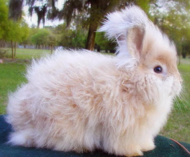 87 Ангорский кролик
