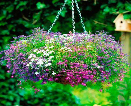 Lobeelien Выращивание лобелии из семян