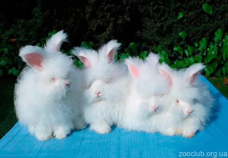 Ангорский кролик фото
