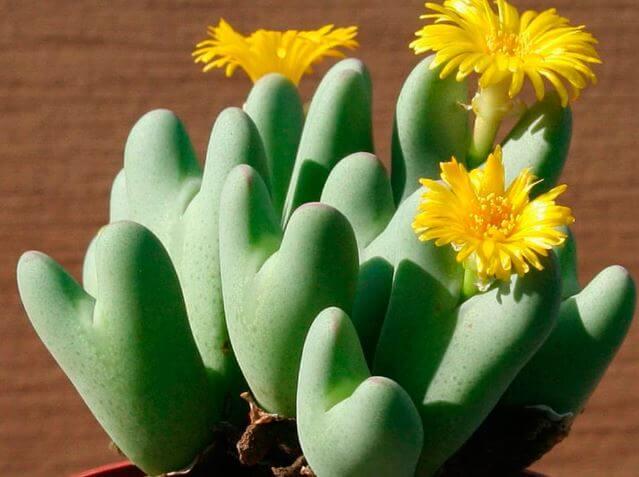 Фото конофитума с жёлтыми цветами