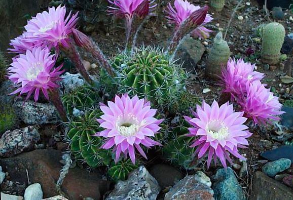 Фиолетовые цветы эхинопсиса