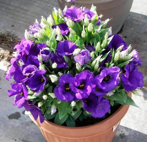 Фото цветущей эустомы