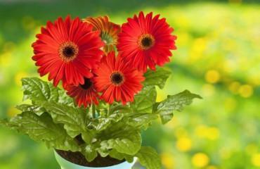 Выращивание герберы в комнатных условиях