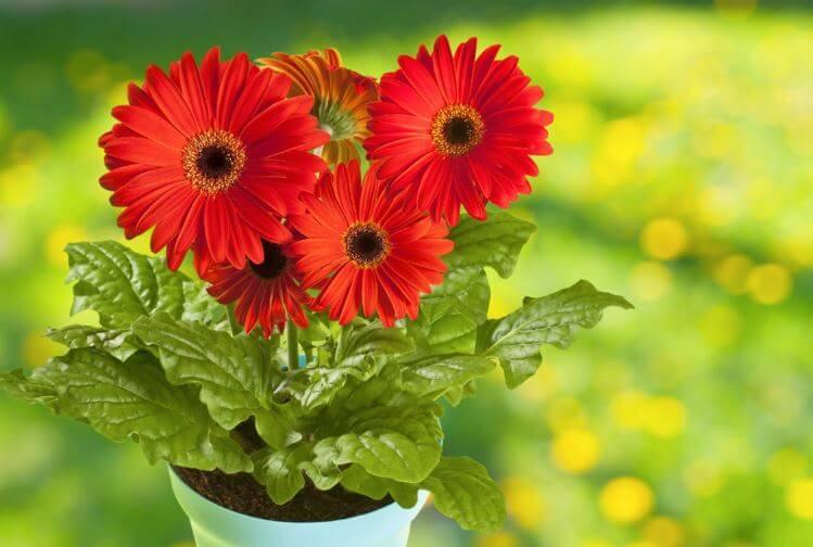 Фото красных цветов герберы