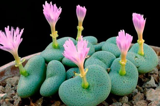 Фото цветущего конофитума