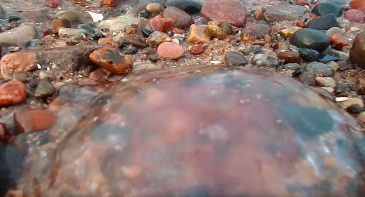 Медуза аурелия ушастая на гальке