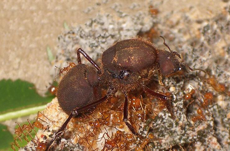 Фото листореза муравья