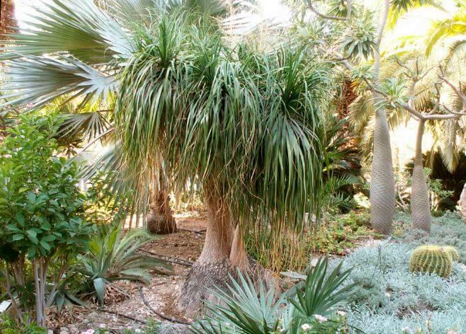 Nolina в ботаническом саду