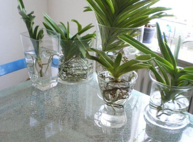 Орхидея ванда любит влагу