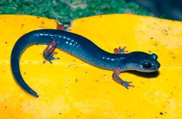 salamandra alleganskaya na zhyoltom liste Саламандра аллеганская