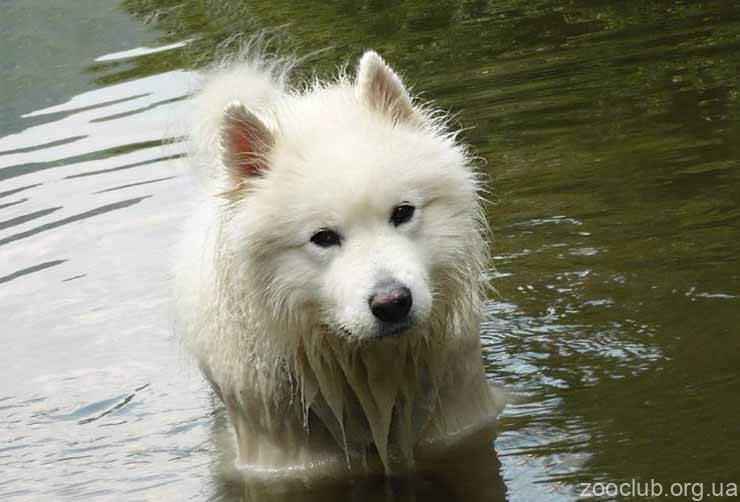 Самоедская собака фото