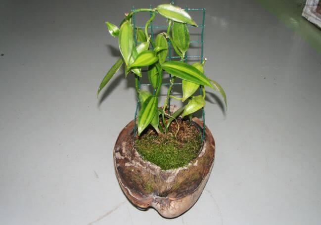 Комнатная ванильная орхидея