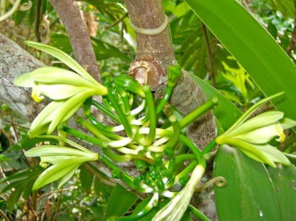 Ванильная орхидея в естественной средей