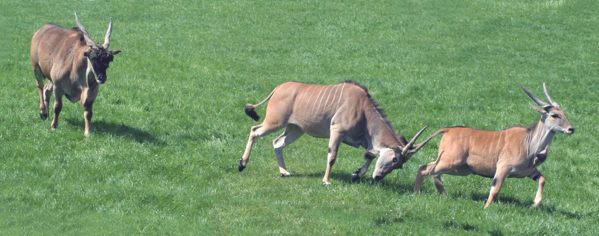Агрессивное поведение антилопы канна