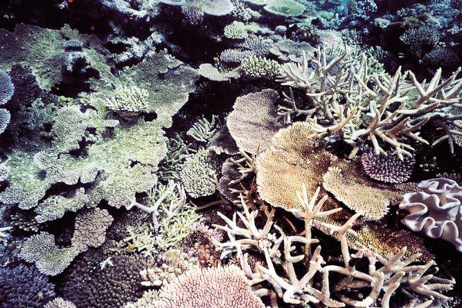 Акропора прекрасная на дне моря