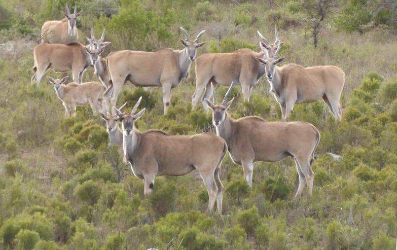 Кормление антилоп канна на пастбище