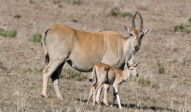 Самка антилопы канна с телёнком