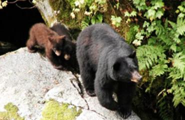 Ведмідь барибал, або американський чорний ведмідь
