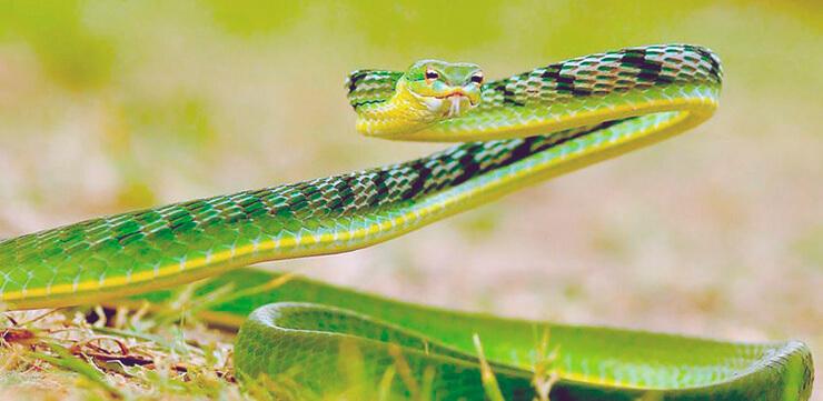 Полоз желто-зеленый фото