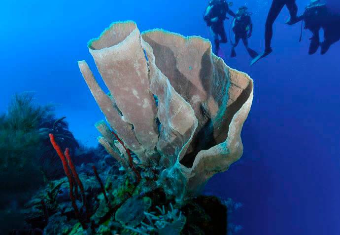 Губка «розовый вазон» на морском рифе