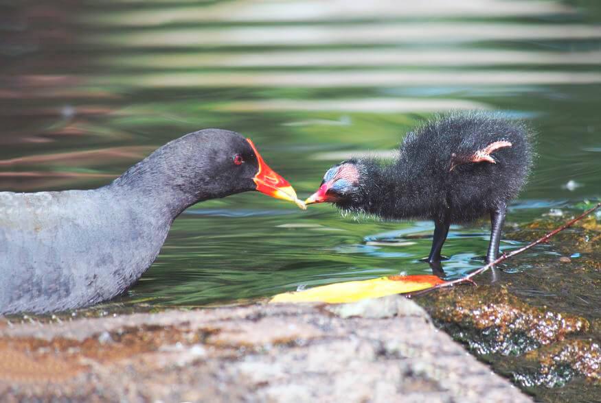 водяная курочка кормит птенца
