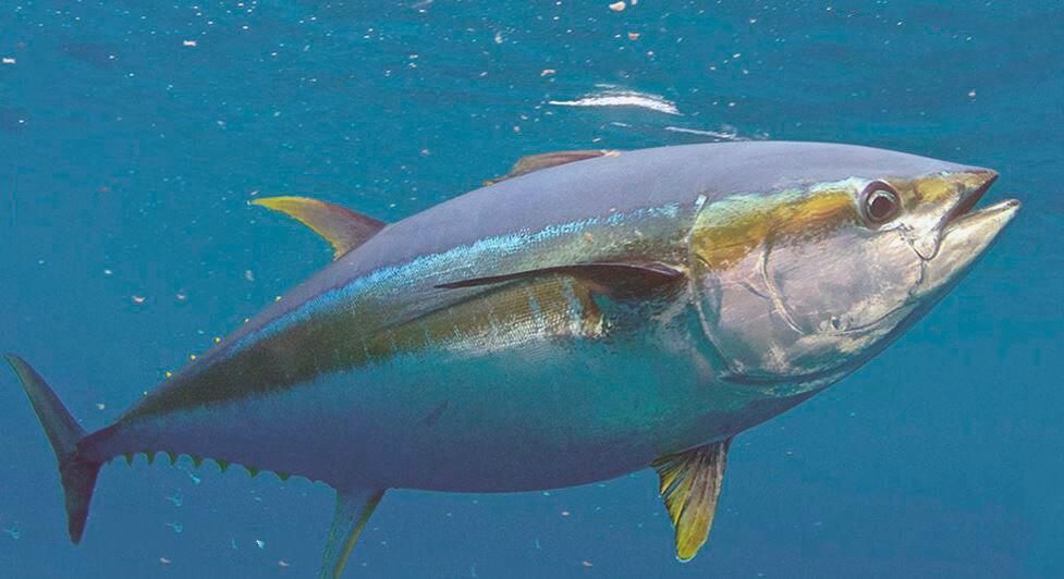 Синий тунец фото