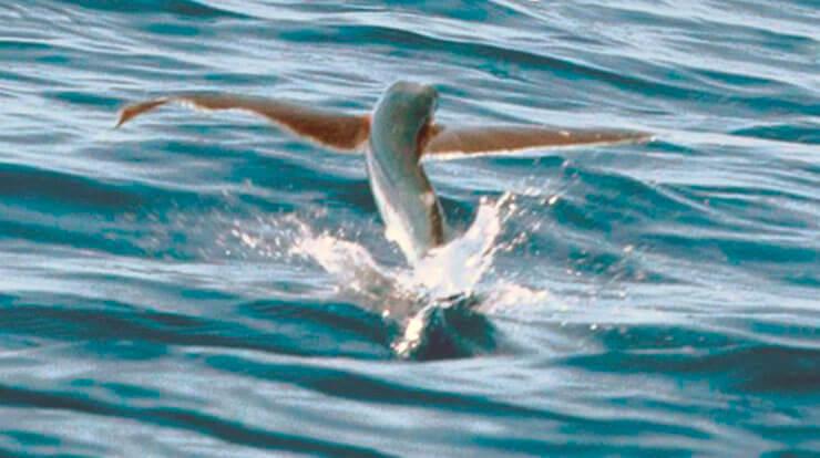 Рыба летучая фото