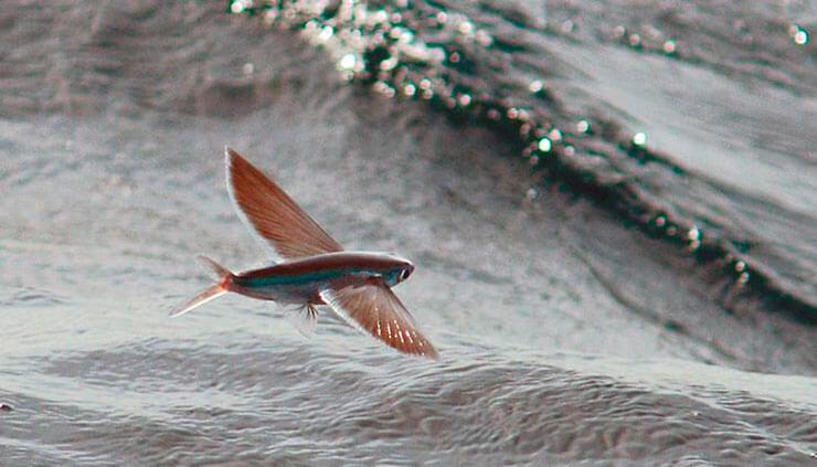 Полёт рыбы летучей