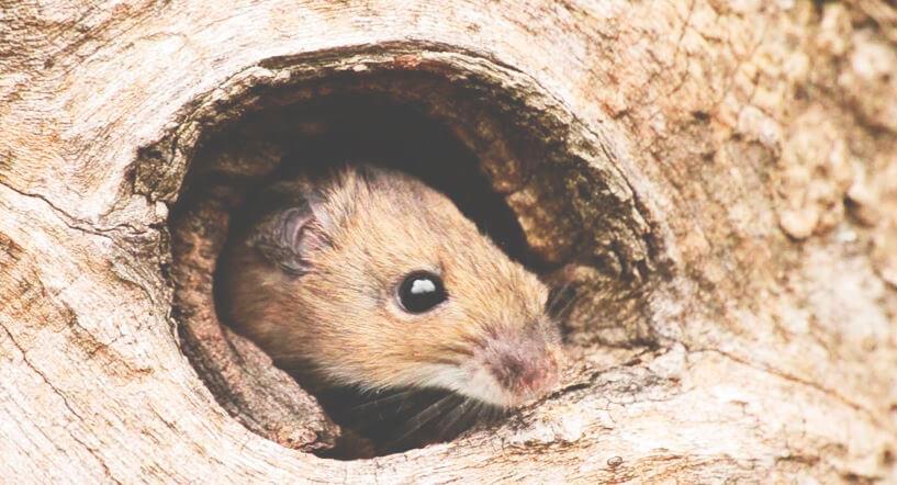 Дупло с мышью лесной желтогорлой