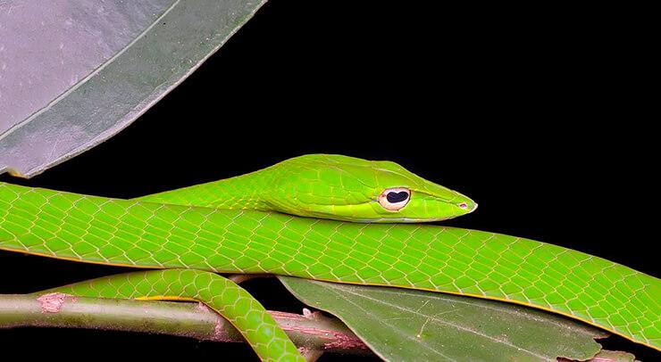 Картинка с полозом желто-зеленым