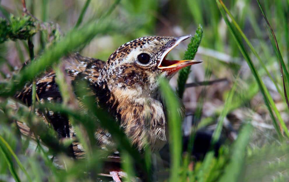 Птенец полевого жаворонка