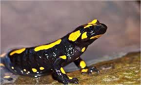 Саламандра пятнистая фото
