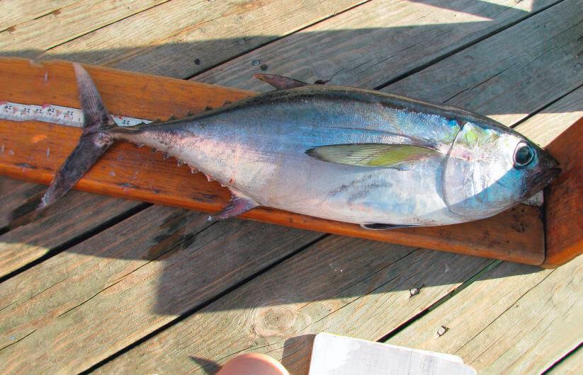 Синий тунец на борту