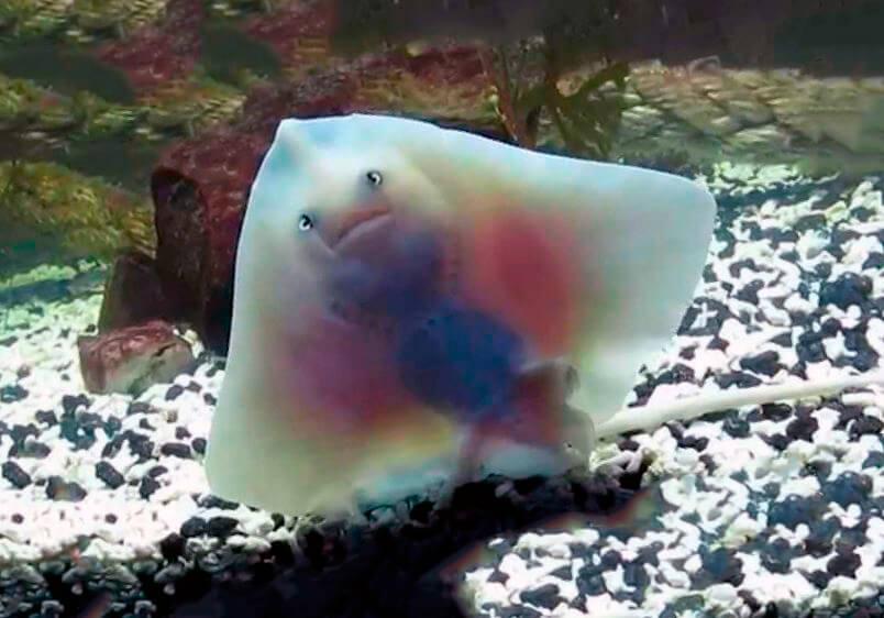 Содержание в аквариуме ската гладкого