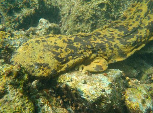 Перемещение скрытожаберника аллеганского по дну водоёма