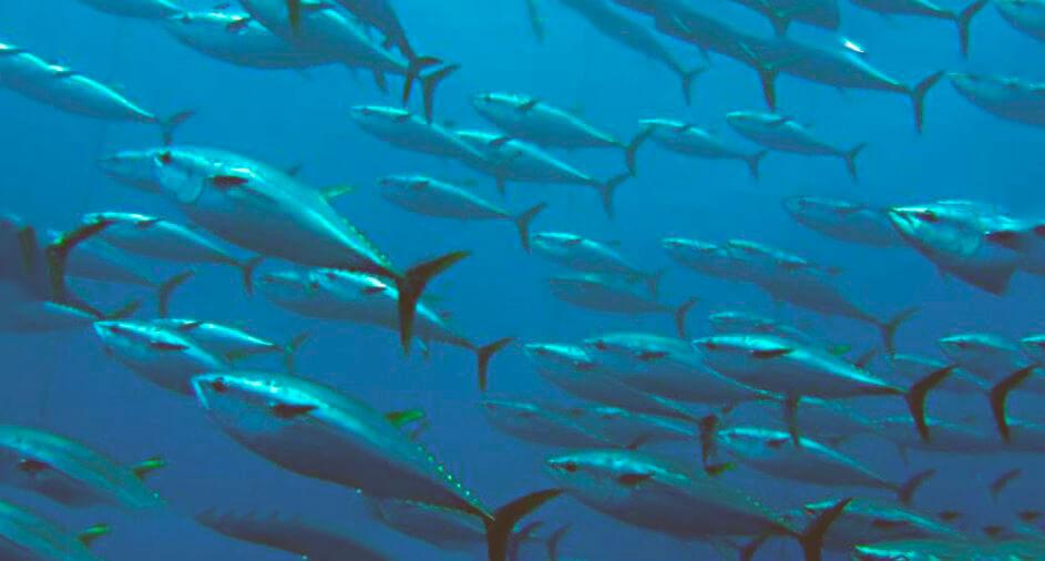 Стая синих тунцов