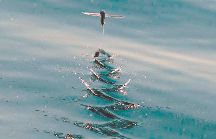 Разгон рыбы летучей перед взлётом