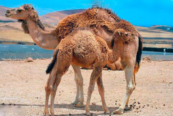 Верблюд одногорбый с беби