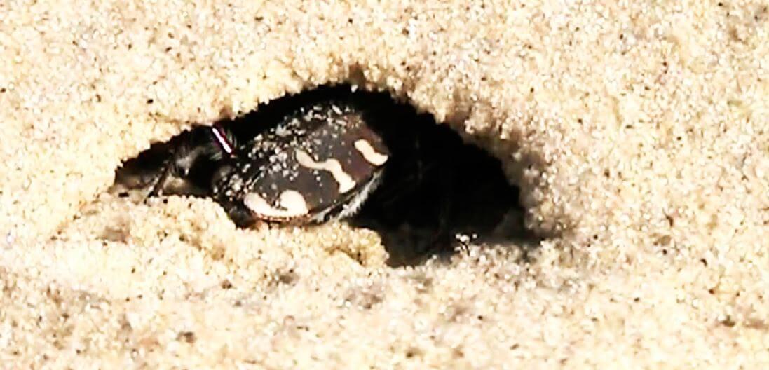 Очищение входа в норку жуком-скакун