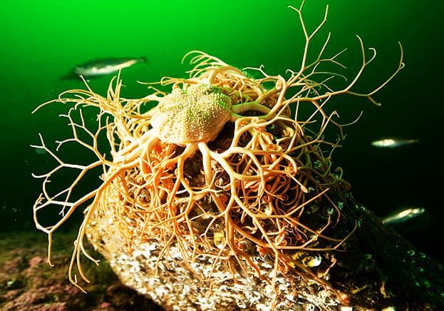 Gorgonocephalus caput-medusae