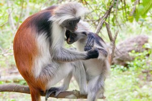 Researchers have captured first ever photograph of Red Colobus Monkey 300x200 Красный колобус не вымер