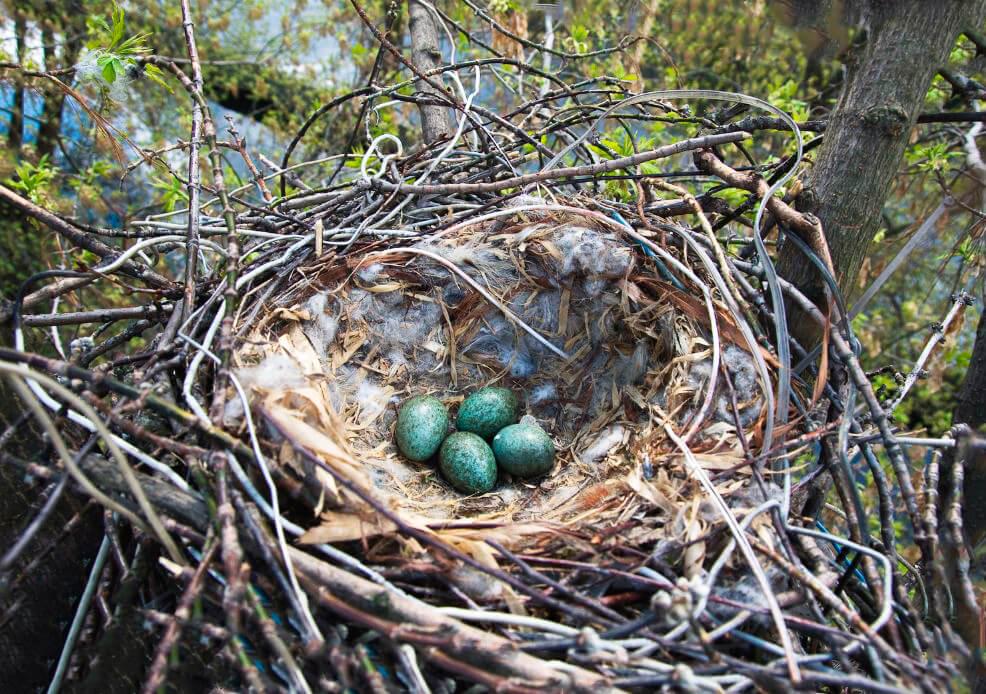Яйца в гнезде ворона